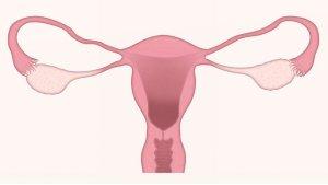 Eierstokken eileider en baarmoeder